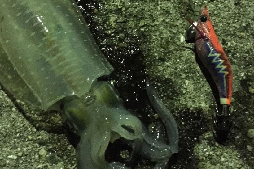 夜のナイトゲームでのアオリイカの釣り方(エギング)