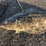 漁港内でのヒラメ(マゴチ)の釣り方