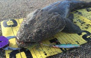 メタルジグで58cmのマゴチ(瀬戸浜海岸)