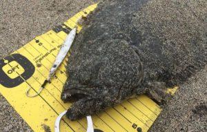 瀬戸浜海水浴場(千倉)で正午に49cmのヒラメ