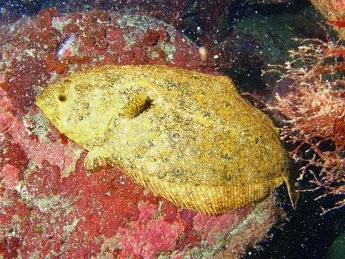 黄金のヒラメ