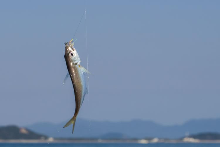 アジのサビキ釣り(超入門)釣れる時期や仕掛けの種類、コツ